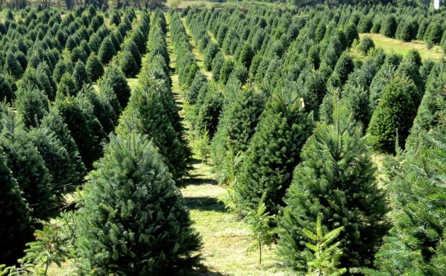 Árboles navideños, ¿cuáles son los más verdes?