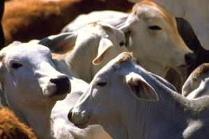 Del clembuterol al zilpaterol, una nueva opción para el ganado